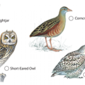 Nattfåglar